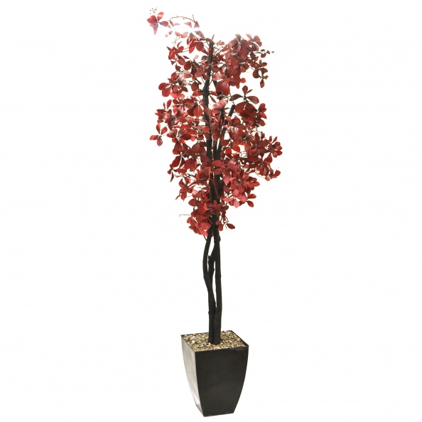 Plant, Large- Silk Tree, Red Leaf W/ Black Planter