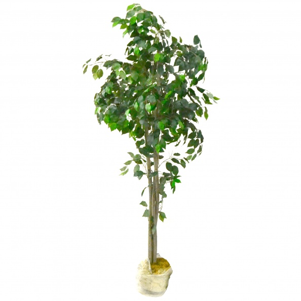 Plant, Large- Three Trunks - Plant Only